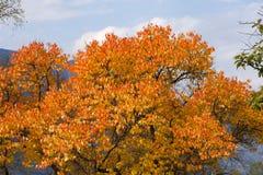 Albero di autunno nella regione di Altai in Russia Immagine Stock