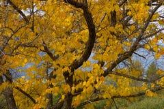 Albero di autunno nella regione di Altai in Russia Immagini Stock Libere da Diritti