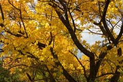 Albero di autunno nella regione di Altai in Russia Fotografie Stock