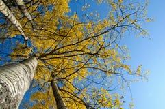 Albero di autunno su cielo blu. Fotografia Stock