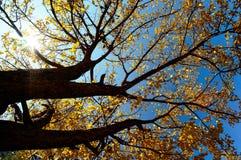 Albero di autunno su cielo blu Fotografia Stock