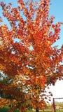 Albero di autunno su un cielo blu Fotografia Stock Libera da Diritti