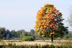 Albero di autunno sul campo fotografia stock libera da diritti