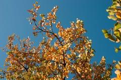 Albero di autunno sul cielo blu fotografie stock