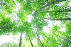Albero di bambù verde Fotografie Stock Libere da Diritti