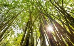 Albero di bambù VI Immagine Stock