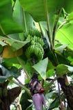 Albero di banana Immagine Stock