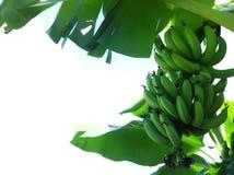 Albero di banana Fotografia Stock
