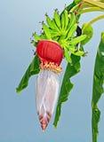 Albero di banana Fotografia Stock Libera da Diritti