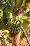 Albero di banana immagini stock libere da diritti