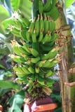 Albero di banana ai giardini di Callaway Immagini Stock