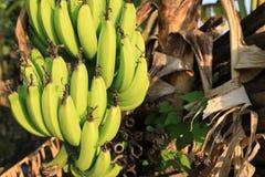 Albero di banana con un mazzo di banane immagine stock libera da diritti