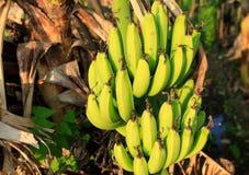 Albero di banana con un mazzo di banane fotografia stock