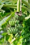 Albero di banana con un mazzo di banane Fotografia Stock Libera da Diritti
