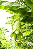 Albero di banana esotico Fotografia Stock Libera da Diritti