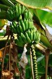 Albero di banana sulla st Thomas Fotografie Stock