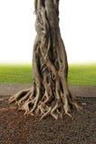 Albero di Banyan Fotografie Stock Libere da Diritti