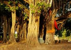 Albero di Banyan Immagine Stock