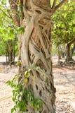 Albero di banyan Fotografie Stock