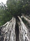 Albero di banyan attraverso il fondo con la sua grandezza fotografie stock