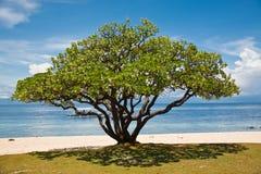 Albero di Banyan (benghalensis del Ficus) Immagine Stock