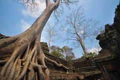 Albero di banyan che cresce sui tum Prohm Cambogia contenuta tempio fotografie stock