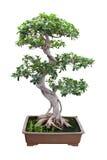 Albero di banyan dei bonsai Fotografia Stock