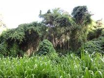 Albero di banyan della località di soggiorno della baia della tartaruga Immagini Stock Libere da Diritti
