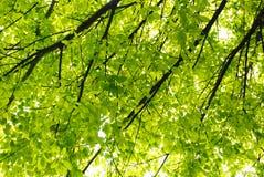 Albero di banyan della sorgente Fotografia Stock Libera da Diritti
