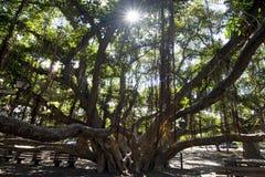Albero di banyan, quadrato del cortile Porto di Lahaina sulla via anteriore, Maui, Hawai Fotografia Stock Libera da Diritti