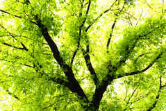 Albero di banyan verdeggiante Immagine Stock
