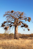 Albero di Baoba Fotografie Stock Libere da Diritti
