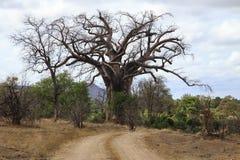 Albero di Baoba Fotografia Stock Libera da Diritti