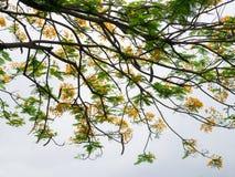 Albero di Barbadose Fotografia Stock