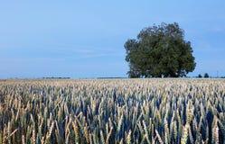 Albero di bellezza sul giacimento di grano alla notte Immagini Stock