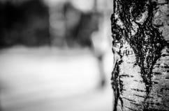 Albero di betulla Fotografia Stock Libera da Diritti