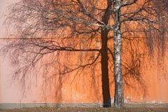 Albero di betulla di autunno con ombra fotografie stock libere da diritti