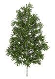Albero di betulla bianca europeo isolato su bianco Fotografia Stock Libera da Diritti