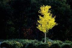 Albero di betulla bianca nella caduta Fotografie Stock Libere da Diritti