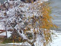 Albero di betulla con le foglie all'inverno immagine stock libera da diritti