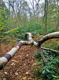 Albero di betulla d'argento Fotografie Stock