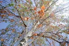 albero di betulla del beautifull fotografia stock