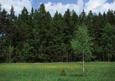 Albero di betulla della sorgente Fotografia Stock