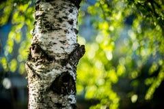 Albero di betulla e bokeh fotografia stock