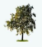 Albero di betulla isolato Fotografie Stock Libere da Diritti