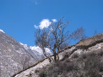 Albero di betulla isolato nell'elevata altitudine Fotografia Stock