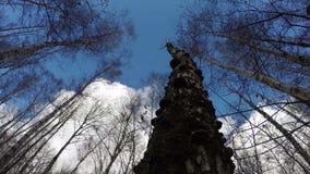 Albero di betulla morto con i funghi, lasso di tempo 4K archivi video