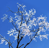 Albero di betulla nudo con i cristalli di ghiaccio Immagine Stock