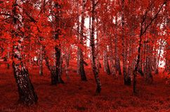 Albero di betulla rossa fotografie stock libere da diritti