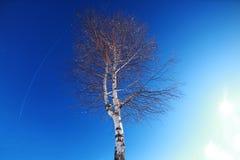 Albero di betulla su cielo blu Fotografie Stock